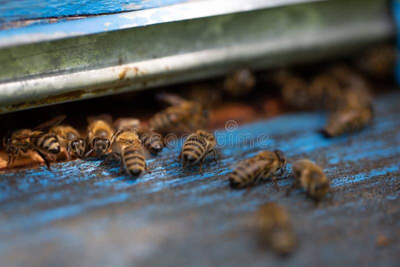 Fermez-vous des abeilles de vol Ruche et abeilles en bois images libres de droits