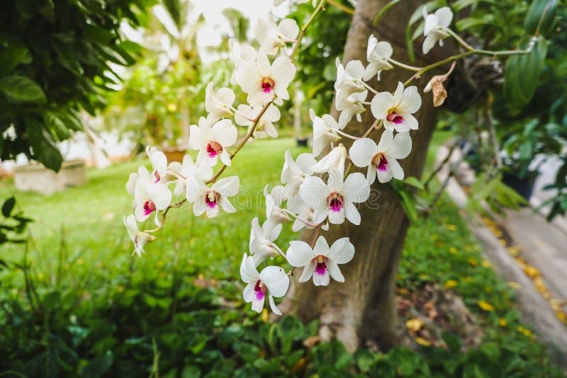 Fermez-vous des amabilis pourpres blancs d'orchidsPhalaenopsis image stock