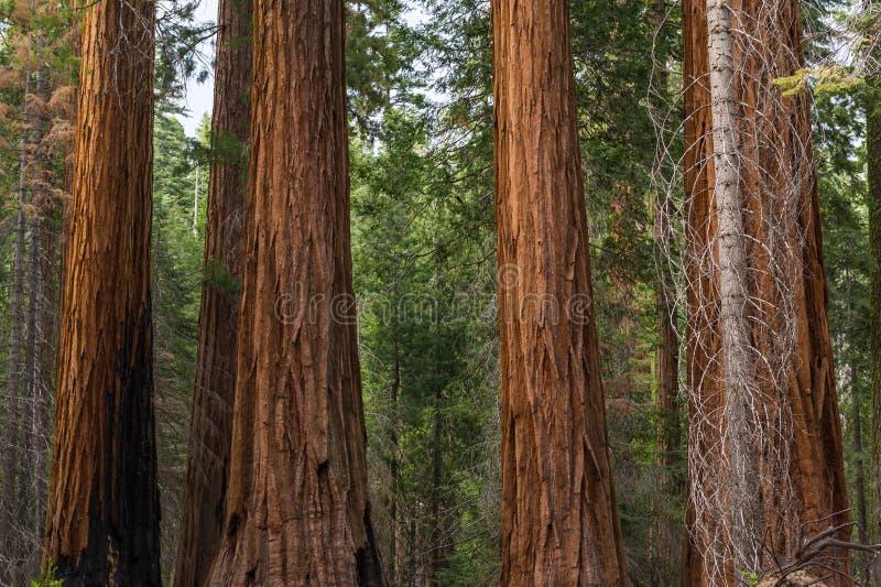 Fermez-vous des arbres de séquoia de séquoia photographie stock libre de droits