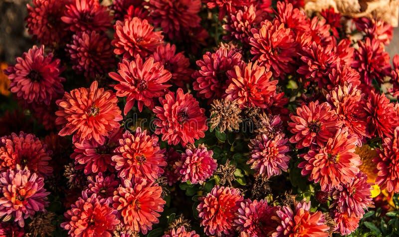 Fermez-vous des belles fleurs rouges de chrysanthème à la ferme de serre chaude image stock