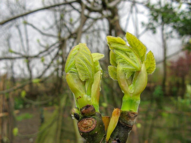 Fermez-vous des bourgeons de feuille de branche sur le figuier un jour pluvieux au printemps images libres de droits