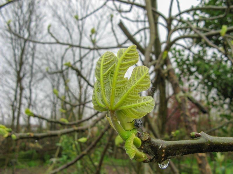 Fermez-vous des bourgeons de feuille de branche sur le figuier un jour pluvieux au printemps photo libre de droits