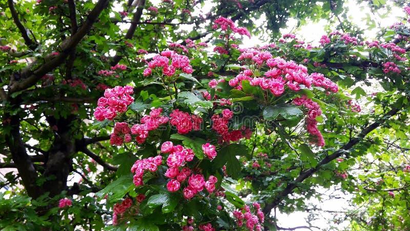 Fermez-vous des branches avec de belles fleurs roses de floraison de l'aubépine de l'écarlate de Paul, arbre de Laevigata de crat photos stock