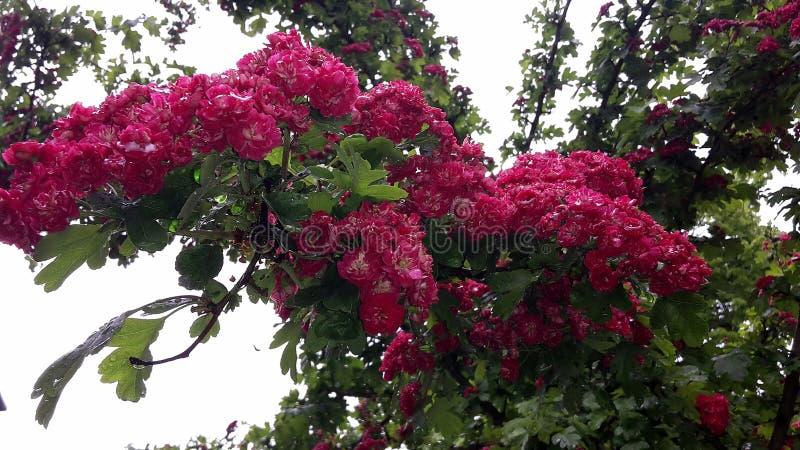 Fermez-vous des branches avec de belles fleurs rouges de floraison de l'aubépine de l'écarlate de Paul, arbre de Laevigata de cra images libres de droits