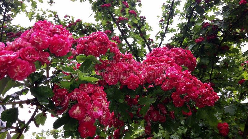 Fermez-vous des branches avec de belles fleurs rouges de floraison de l'aubépine de l'écarlate de Paul, arbre de Laevigata de cra photo stock