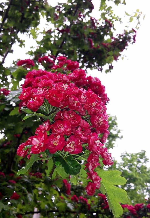 Fermez-vous des branches avec de belles fleurs rouges de floraison de l'aubépine de l'écarlate de Paul, arbre de Laevigata de cra image stock