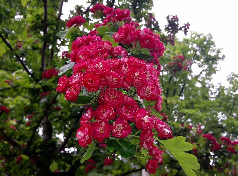 Fermez-vous des branches avec de belles fleurs rouges de floraison de l'aubépine de l'écarlate de Paul, arbre de Laevigata de cra photos stock