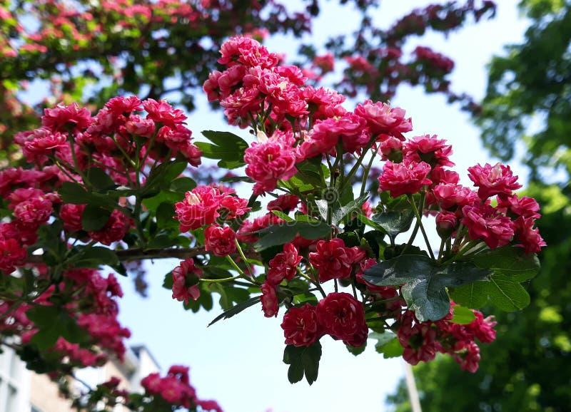 Fermez-vous des branches avec de belles fleurs rouges de floraison de l'aubépine de l'écarlate de Paul, arbre de Laevigata de cra image libre de droits