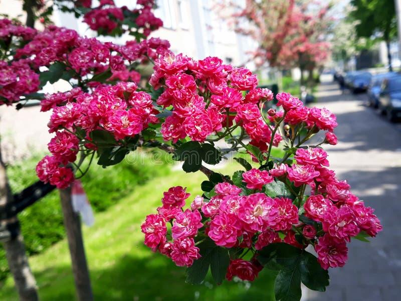 Fermez-vous des branches avec de belles fleurs rouges de floraison de l'aubépine de l'écarlate de Paul, arbre de Laevigata de cra photos libres de droits