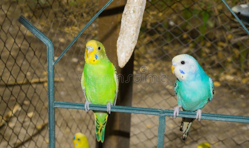 Fermez-vous des budgrigars colorés dans une cage photo stock
