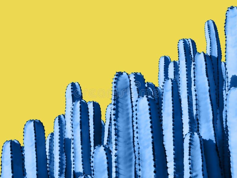 Fermez-vous des cactus bleus d'euphorbe d'isolement sur Backgroun jaune photographie stock