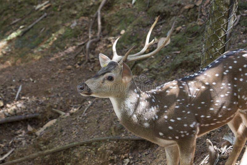 Fermez-vous des cerfs communs photographie stock