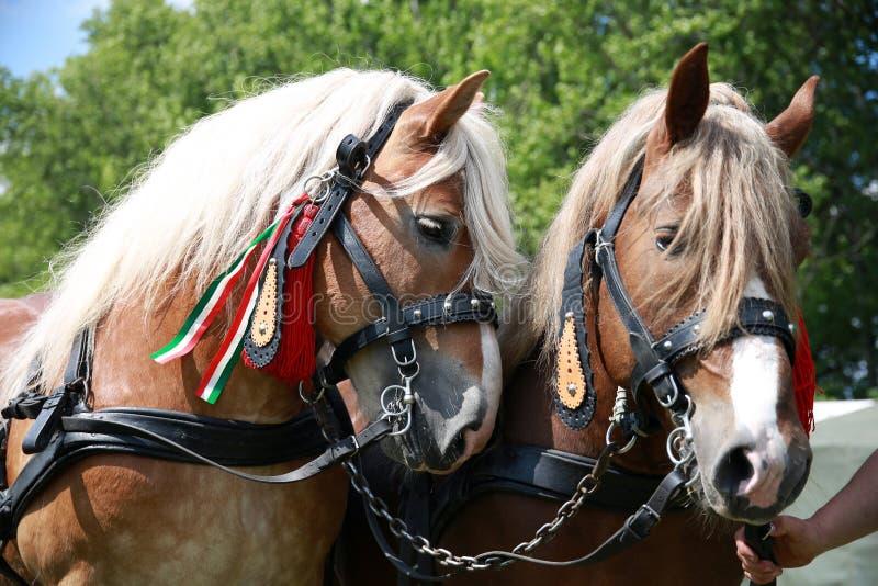 Fermez-vous des chevaux lourds d'ébauche dans le beau harnais image stock
