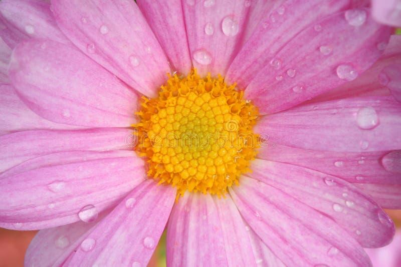 Fermez-vous des chrysanthèmes colorés de fleurs photo libre de droits