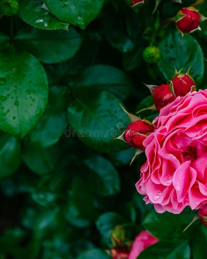 Fermez-vous des demi roses rouge-rose avec des baisses de pluie au-dessus des feuilles vert-foncé brouillées photo libre de droits