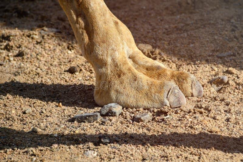 Fermez-vous des deux pieds de chameau de doigt marchant dans le désert chaud image stock