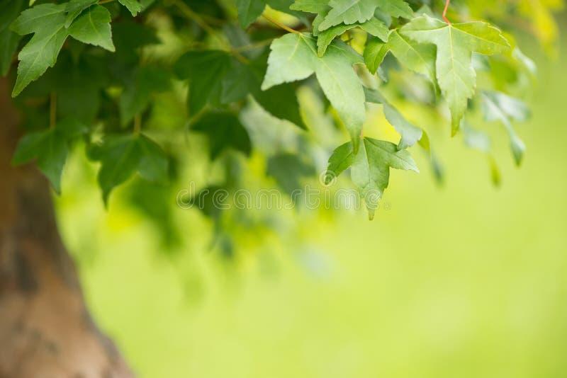 Fermez-vous des feuilles d'un arbre de bonsaïs d'érable images stock
