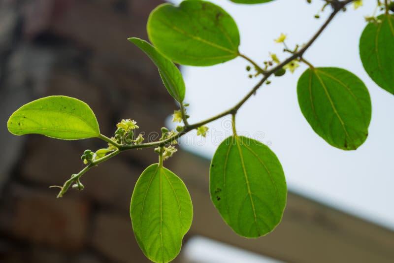 Fermez-vous des feuilles de jujube de ziziphus photo stock