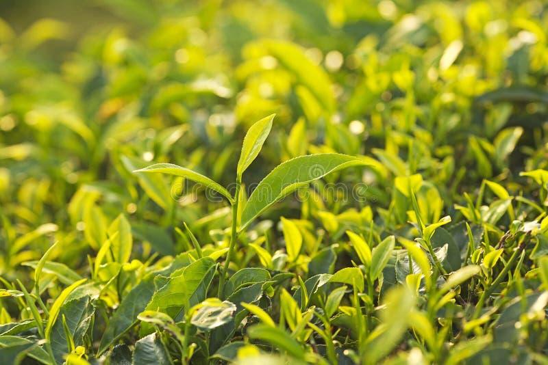 Fermez-vous des feuilles de thé vertes dans une plantation de thé dans le matin avec photographie stock