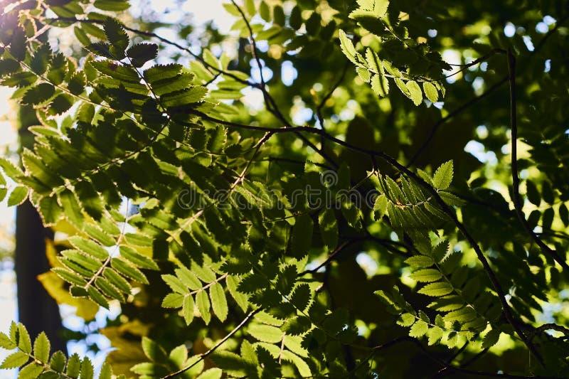 Fermez-vous des feuilles vertes fraîches illuminées par lumière du soleil photos stock