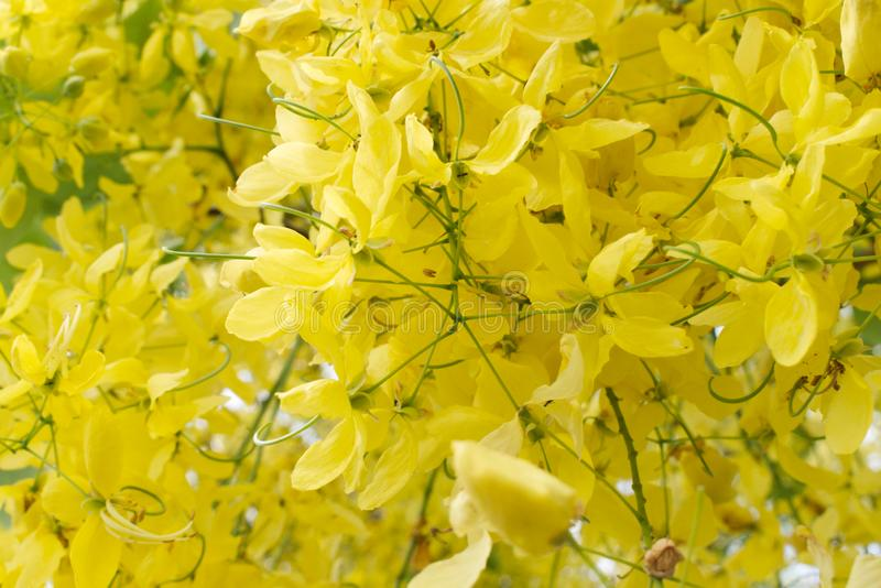 Fermez-vous des fleurs à chaînes d'or image stock