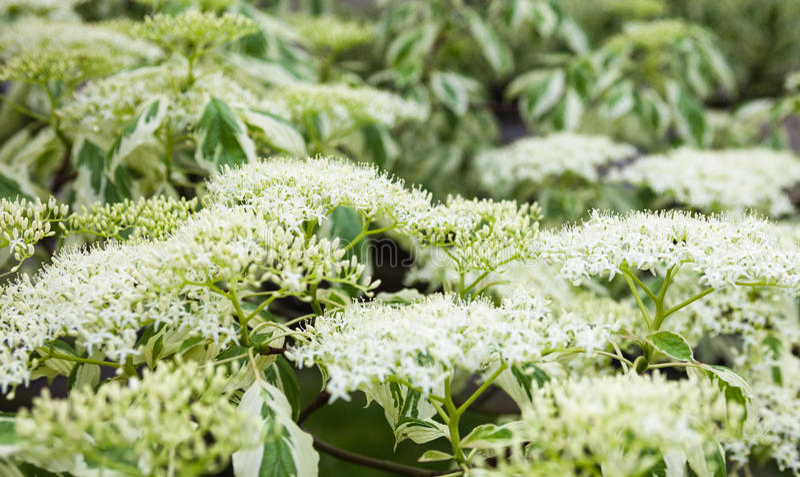 Fermez-vous des fleurs blanches et des feuilles de cornouiller photographie stock