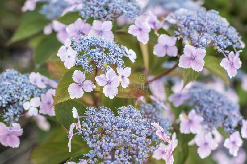 Fermez-vous des fleurs d'hortensia de Lacecap dans le jardin images libres de droits