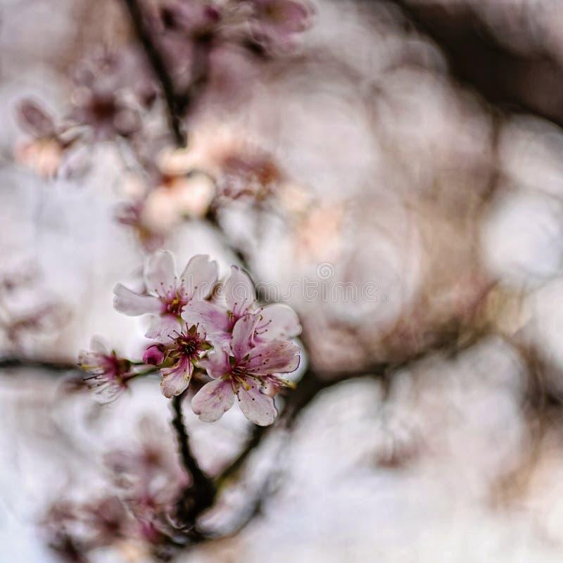Fermez-vous des fleurs de cerisier au printemps images libres de droits