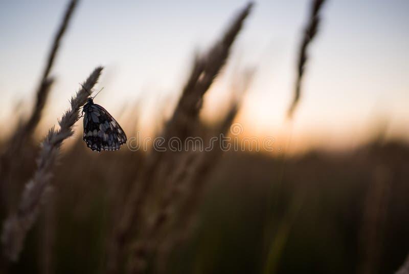 Fermez-vous des fleurs de champ d'herbe à la lumière de coucher du soleil fond coloré de nature avec le papillon photo libre de droits