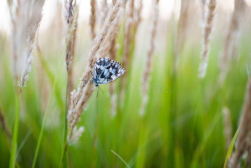 Fermez-vous des fleurs de champ d'herbe à la lumière de coucher du soleil fond coloré de nature avec le papillon photographie stock libre de droits