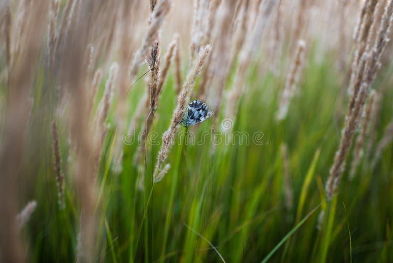 Fermez-vous des fleurs de champ d'herbe à la lumière de coucher du soleil fond coloré de nature avec le papillon image libre de droits