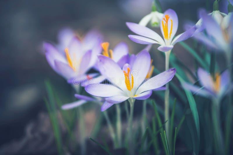 Fermez-vous des fleurs de crocus, extérieur images libres de droits