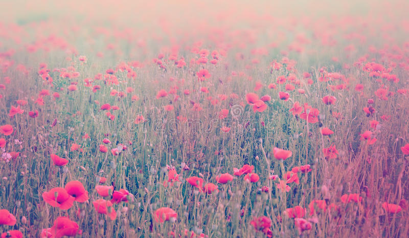 Fermez-vous des fleurs de pavot Centre mou de champ de pavot Tonne en pastel photo stock