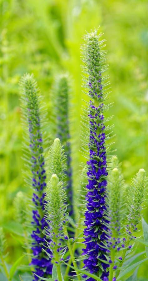 Fermez-vous des fleurs du spicata pointu de Veronica de véronique photographie stock libre de droits