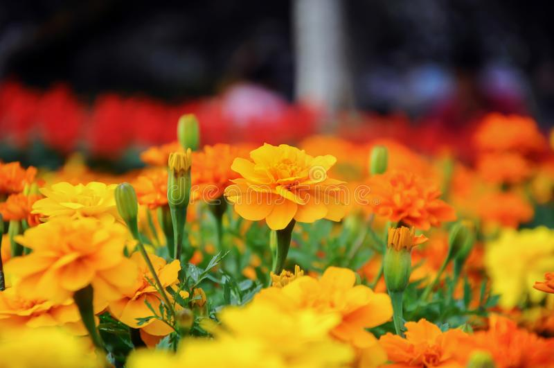 Fermez-vous des fleurs jaunes dans le jardin image libre de droits