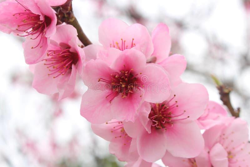 Fermez-vous des fleurs roses de floraison de fleurs de cerisier photographie stock