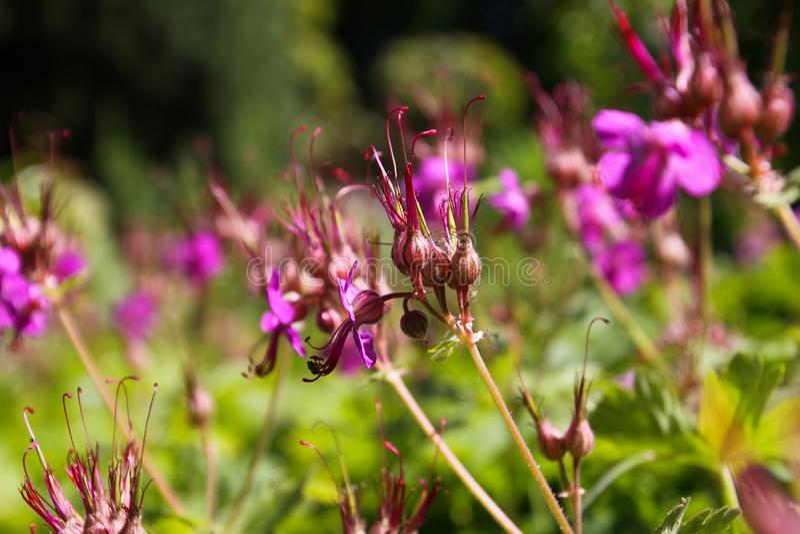 Fermez-vous des fleurs roses de macrorrhizum de géranium de bigroot avec les bourgeons fermés et le fond brouillé vert dans le li images libres de droits