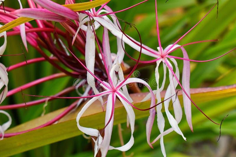 Fermez-vous des fleurs tropicales colorées en EL Éden, voie de jungle de Puerto Vallarta dans le macro, vue détaillée au Mexique photographie stock libre de droits