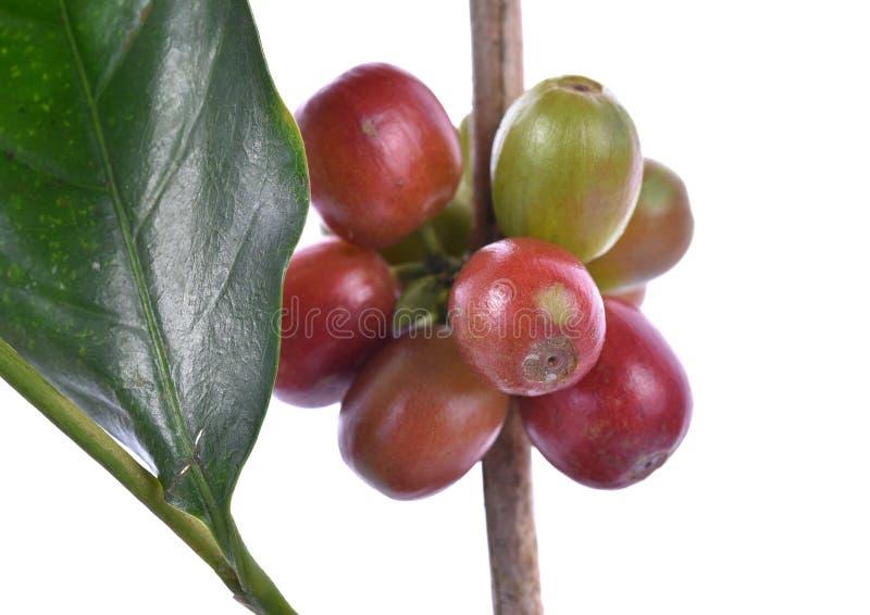 Fermez-vous des grains de café crus frais d'isolement sur le fond blanc, photos libres de droits