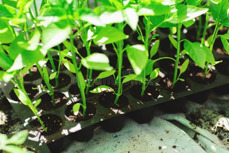 Fermez-vous des jeunes plantes de poivre, jeune feuillage de poivre, jeunes plantes de ressort Concept des serres chaudes image stock