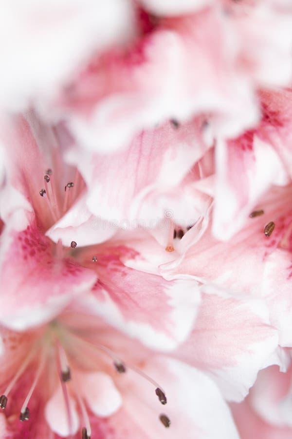 Fermez-vous des jolis fleurs et p?tales roses de style d'oeillet photos stock