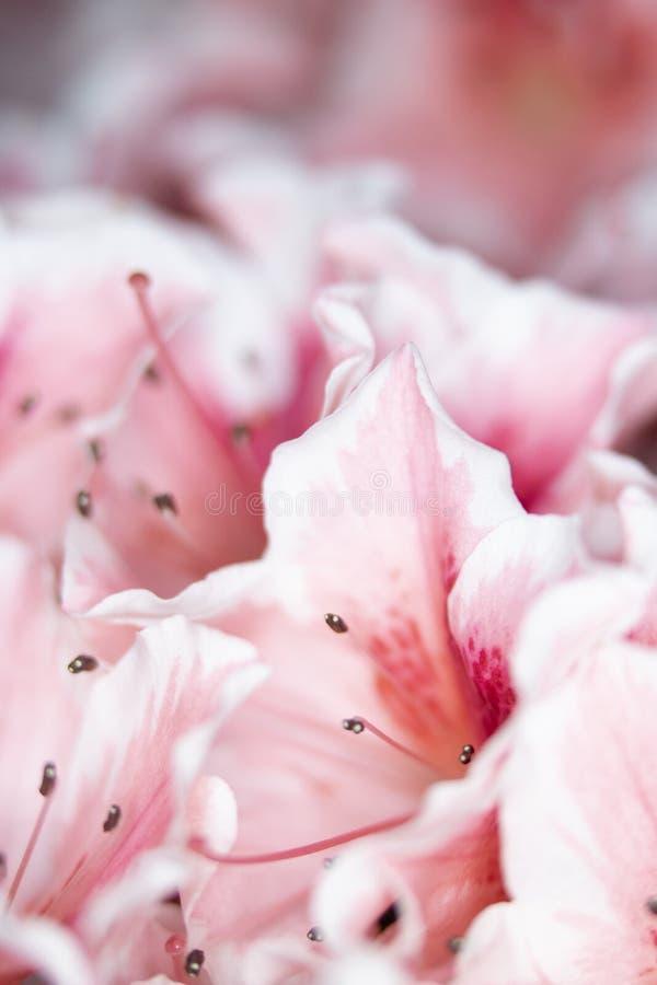 Fermez-vous des jolis fleurs et p?tales roses de style d'oeillet photo libre de droits