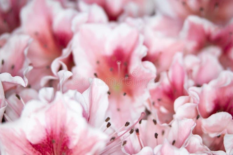 Fermez-vous des jolis fleurs et p?tales roses de style d'oeillet image stock