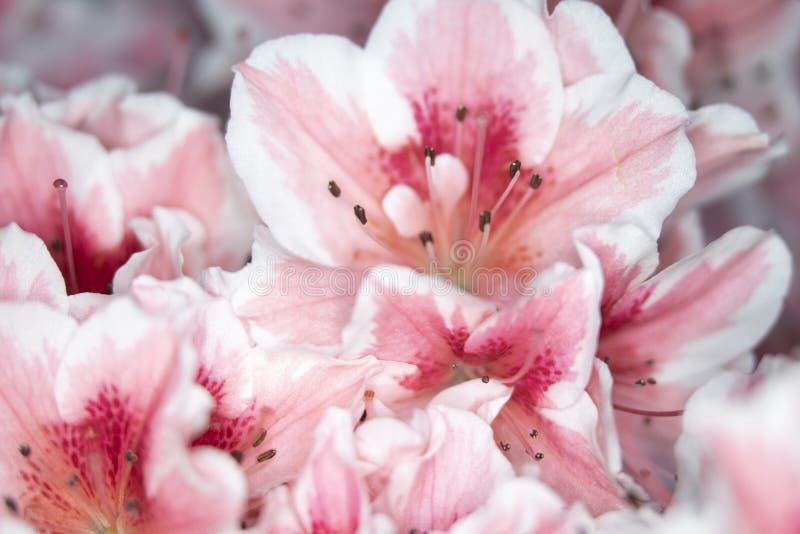 Fermez-vous des jolis fleurs et p?tales roses de style d'oeillet photo stock