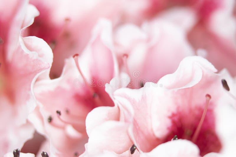 Fermez-vous des jolis fleurs et p?tales roses de style d'oeillet photographie stock