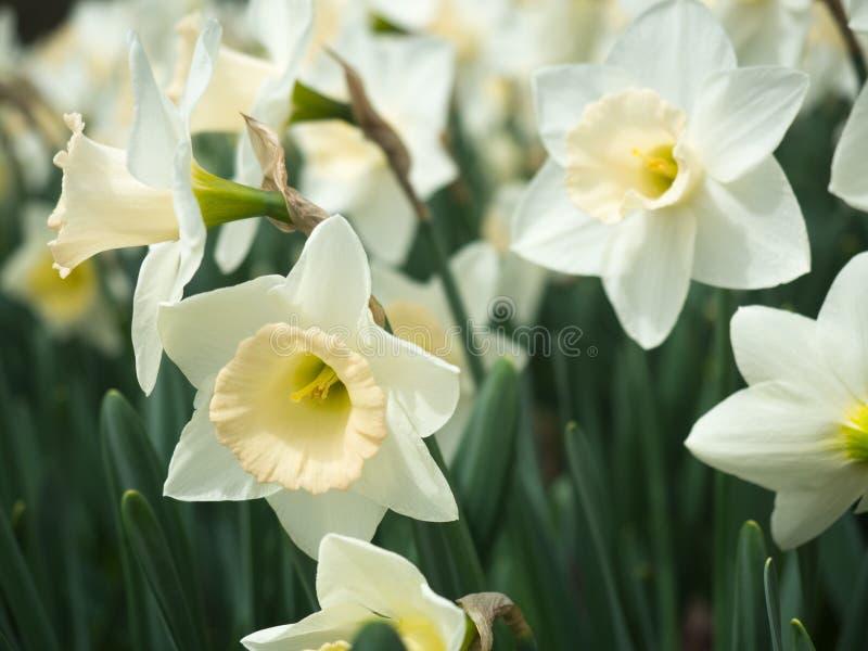 Fermez-vous des jonquilles blanches et jaune pâle images stock
