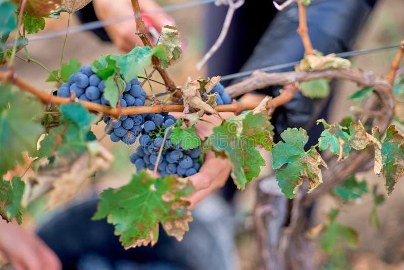 Fermez-vous des mains du ` s de travailleur coupant les raisins rouges des vignes pendant la récolte de vin images libres de droits
