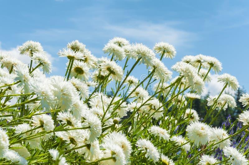 Fermez-vous des marguerites blanches et du ciel bleu image stock