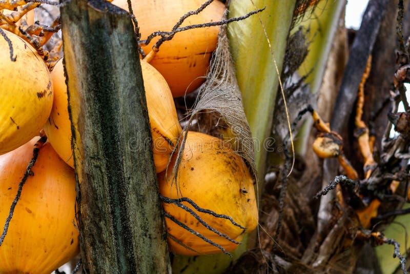 Fermez-vous des noix de coco jaune-orange dans un groupe s'élevant sur le palmier image libre de droits