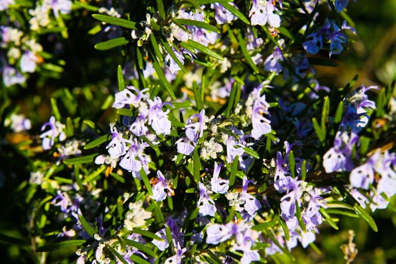 Fermez-vous des officinalis de floraison de Rosmarinus de buisson de romarin au printemps image libre de droits